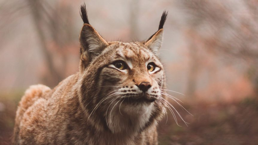 photo of a lynx cat, get it backlinks?
